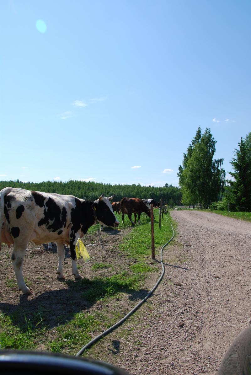 Mökille kulku lehmälaitumien vieritse