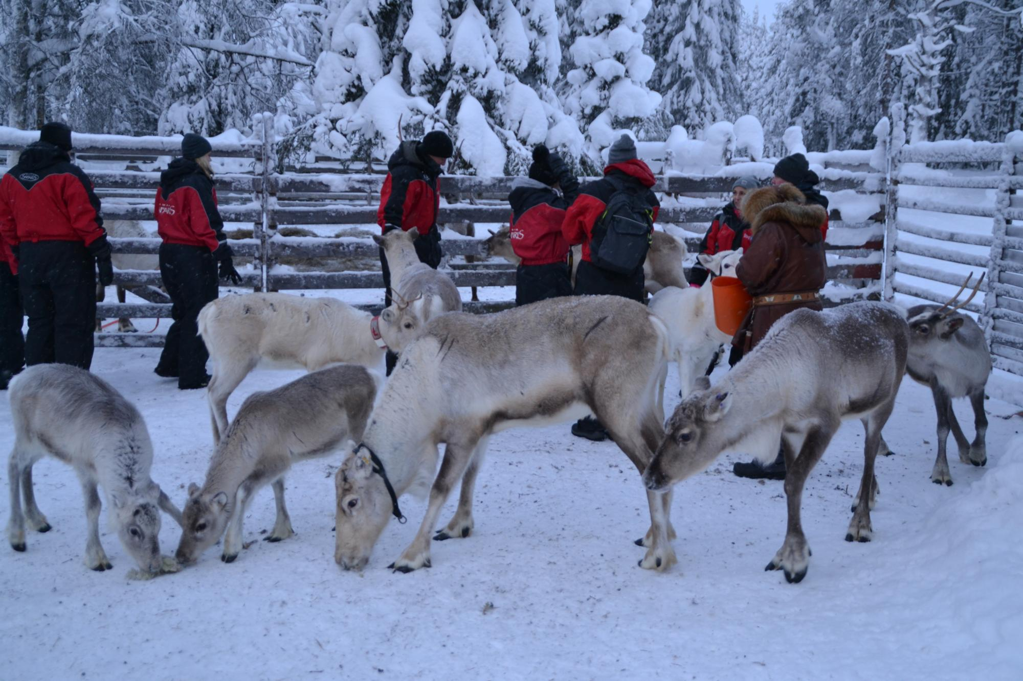 VISIT TO THE REINDEER FARM (BASIC)